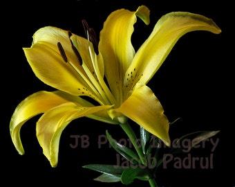 LILIES  -  fine art  photography, flower photo, garden, lilies, yellow flower, lilies flowers