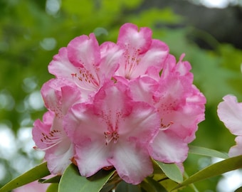 Rhododendron Pink Walloper  -  One Gallon Plant