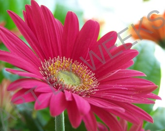 Pretty In Pink photo print , Pink Gerber Daisy Print Scenery Floral