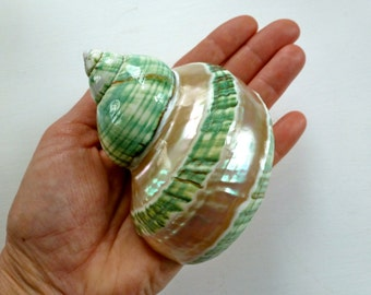 Pearl Green & Mother of Pearl Banded Turbo Borghese Shell