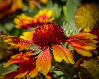 Red and Orange * Flower * Color Photography * Print