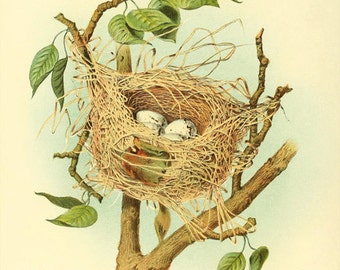 Orchard Oriole - nest and eggs - reproduction of an old zoological illustration