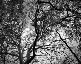 Black and White Forest Canopy