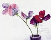 Fine Art Print of Sweet Peas in Pink and Burgundy - Watercolor Painting