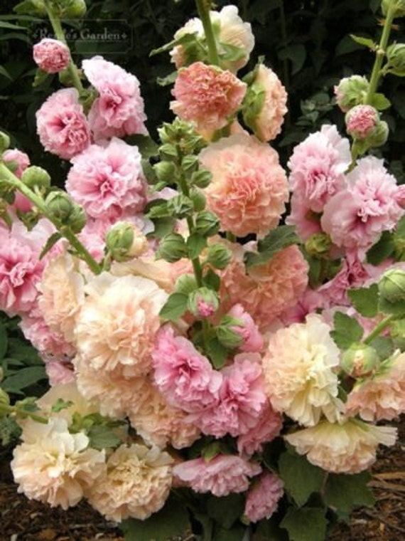 Hollyhock Seeds - Pastel Mixed - Double Peony-Like Flowers - Biennial - 25 Seeds