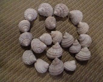 20 White & Creme Colored Turban Shells