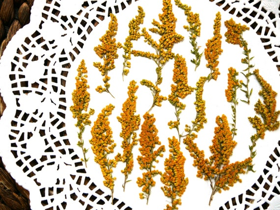 Dried Pressed Flowers Real Dried Goldenrod Solidago Flower