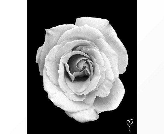 "Black and White Prints, Rose in Black and White, Flower Art ""In the Spotlight"" Fine Art Print, Modern Home Decor, Black and White Photograph"