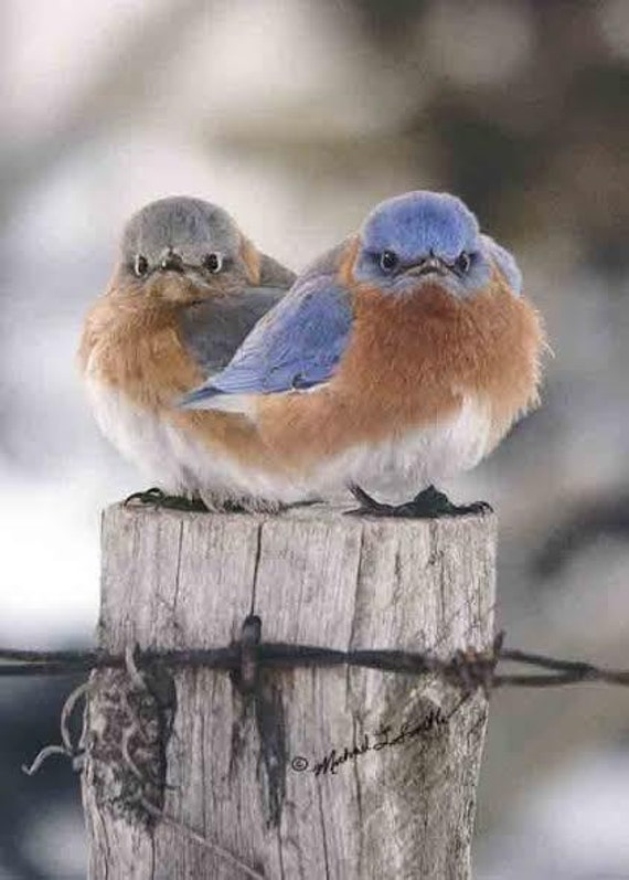 """The Mad Bluebird and his mate 8""""X10"""" Signed & Shipped from Photographer's Own Studio"""