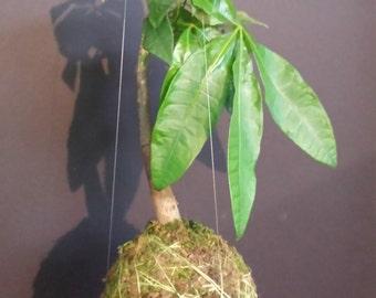 Pachira Kekodama Hanging Moss Bonsai