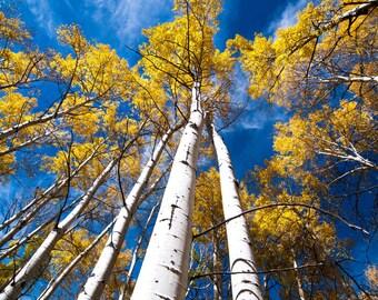 Trees in Aspen