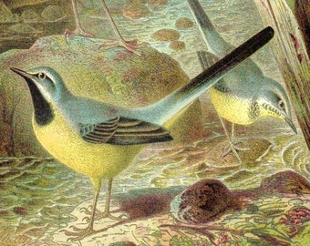 Brehms Birds Natural History Print Yellow Wagtail Winter Wren Life Of Animals Thierleben Vintage Chromolthograph Book Plate  Wall Decor 1890