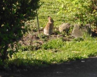 Rabbit in the Spring