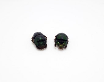 Onthophagus mouhoti Beetle PAIR (Female and Male) Taxidermy Insect A1 Specimen