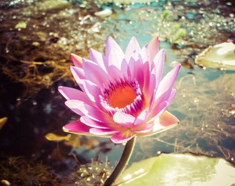 Nature Photography Dreamy Fuschia Water Lilly Print