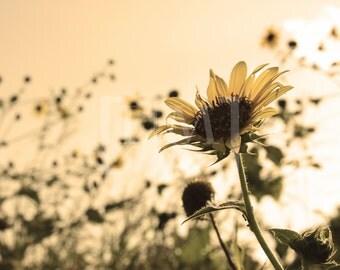 Fine Art Photograph of Summer Sunflowers
