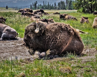 Buffalo Photography - BUFFALO WALL DECOR - bison photography