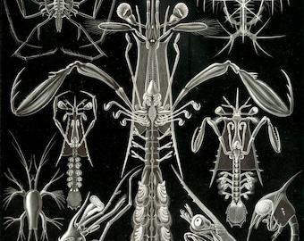 Haeckel Thoracostraca