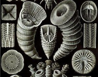 Haeckel Tetracoralla Wall art printable Instant download printable art Haeckel Digital art Scientific illustrations Digital download art