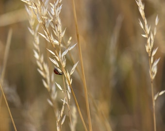 Nature Photography, Lady Bug Photography, Fine Art Photography, Wall Art, Wheat