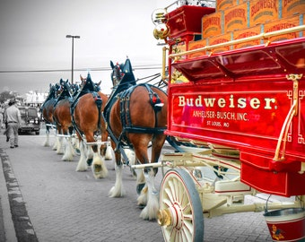 Budweiser Horses  - High Definition Range Photograph