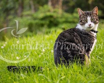 Domestic Wildcat