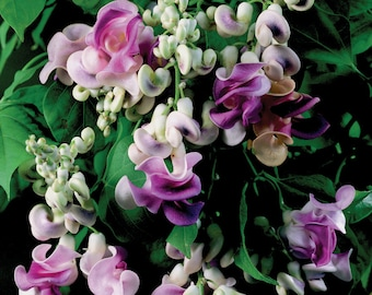 VIGNA CARACALLA, Sweet Fragrance Cork Screw Vine 4 Seeds, Climbing Garden Plants