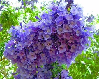 Jacaranda Mimosifolia Fern Tree 20-1500 Seeds, Fragrant Ornamental Blue Jacaranda, Bonsai