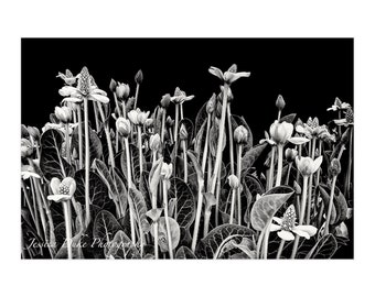 Black & White Photography, Black and White Print, Floral Photography, Nature Photography, Black and White Art, Matted Print, Ready to Frame