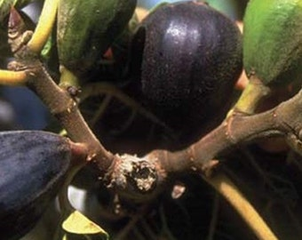 LSU Purple Fig Tree, 2-3 Year Old (2-3 Ft), Potted, 3 Year Warranty