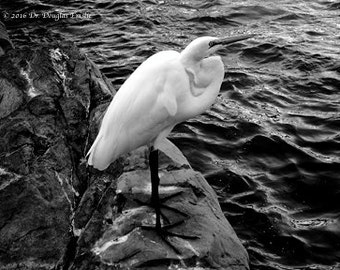 White Egret, Black & white Photography, wall art, for office or home,