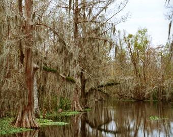 Beautiful Spanish Moss in the Louisiana Swamp