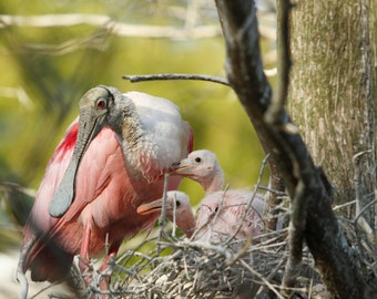 Roseate Spoonbill Chicks Photograph - Nature Photography, Birds, Nesting, Babies Wildlife, Art