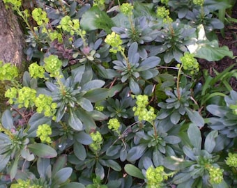 2 Organic Norfolk Euphorbia Amygdaloides,The Wood Spurge,Drought Tolerant English Cottage Garden Plant.