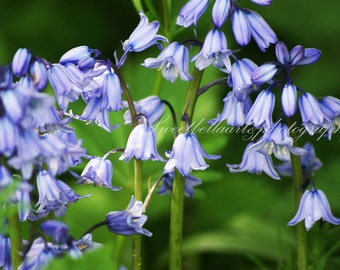 Wall Art, Photography Print, Bluebells, Flowers