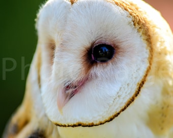 Barn owl, owl photography, Wildlife photography