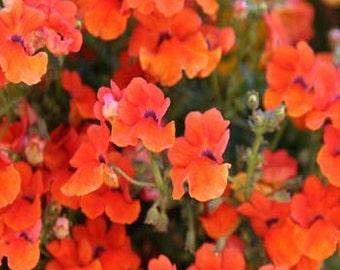 Orange Prince Nemesia Flower Seeds/Strumosa/Annual  50+