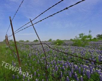 Bluebonnet of Texas. Beautiful field of bluebonnets inside a ranch outside of Austin, Texas