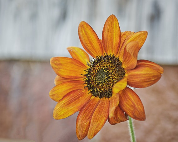 Sunflower Photograph - Fine Art Print - Fall Home Wall Decor - Flower Pictures - Orange Sunflowers - Floral Decor - Fall Gifts