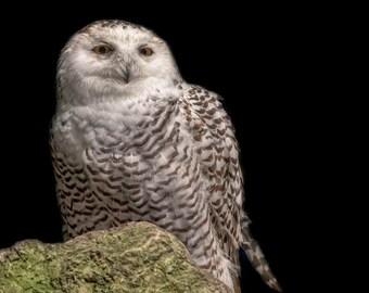 Snowy Owl, profile