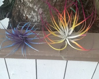 """Two Beautiful Tillandsia Air Plants Fern Bursting With Color! 4"""" - 6""""  Wide"""