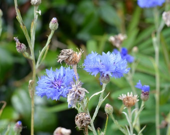 nature macro photography Blue flowers digital photograph surrounded by green leaves
