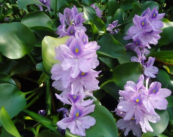 Water Hyacinth, pond floating plant.