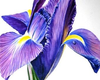 Iris (print of original watercolour)