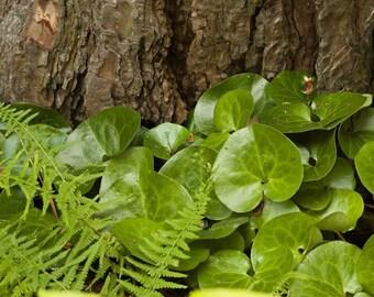 LIVE plant Asarum Europeum (European Wild Ginger) very cold hardy broadleaf evergreen (-34.4 C (-30 F))