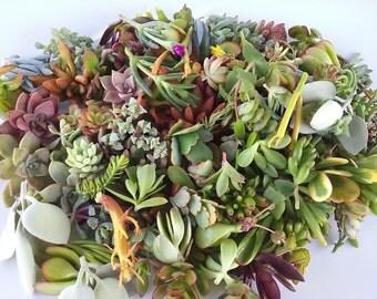 100 Succulent Cuttings