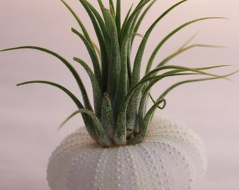 1 Lavender Sea Urchin with Air Plant, Tillandsia, Seashell, Beach Decor, Seashore