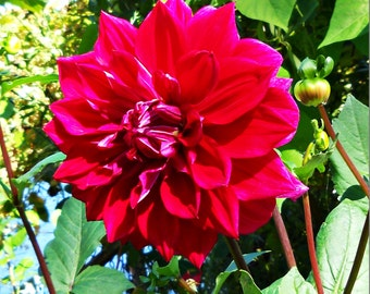 Red Dahlia Flower Photograph