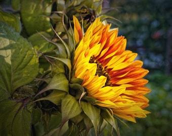 Sunflower kitchen-deco (flower, sun, yellow, vivid)
