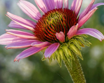 Bright Blossom flower (shining, pink, FineArt)